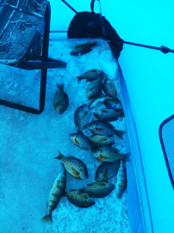 Good size panfish like bluegill, sunfish and perch make for excellent ice fishing action and taste great.