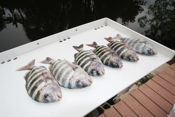 Sheepshead have nice white, firm meat and taste great either grilled or deep-fried!