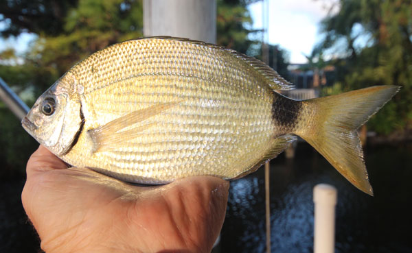 Spottail Pinfish are one of the most common fish that can be caught along the Florida Gulf Cost.  They may not be large, but they hit aggressively and put up quite a fight for their size.