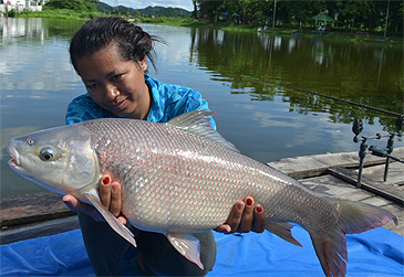 On 12 July 2013 a new record 5.1 kg Brahmaputra Labeo, also called Kali Rohu was set by a female angler fishing in the Srinakarin Reservoir, Thailand.