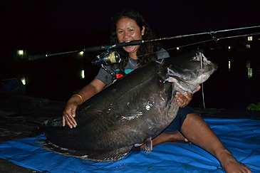 """On 29 July 2013 Ms. Benchawan Thiansungnoen set the first rod & reel record of a Striped Wallago which weighed a39.2 kg (86 lb), and was caught in the Khao Laem Reservoir, South Asia. She also caught a larger specimen at 49 kg (108 lb), but it got snaged and she needed help from divers to free it.  The Striped Wallago is one of only a few new freshwater species of fish that have been added by the IGFA to the """"all tackle record list""""."""