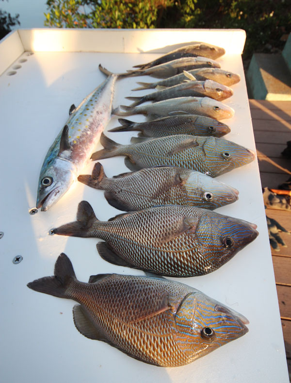 Grunts are plentiful around most warm saltwater reefs, they are scrappy fighters and are very tasty.  The Spanish Mackerel fell for a Rapala Husky Jerk Deep that I cast around the reef.