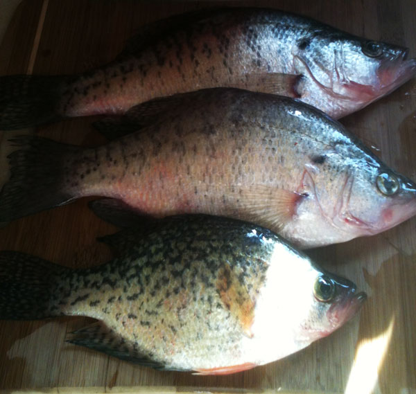 Matt Wilson's shows off some slab-crappie he caught ice fishing in Upper NY.