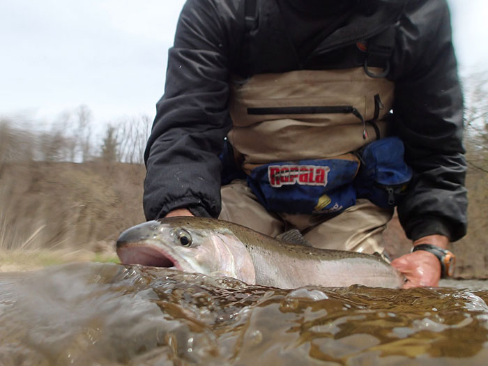 It's important to make sure a tired steelhead has revived properly so that when it's released it has lot's of energy to get back down to deeper water for cover.