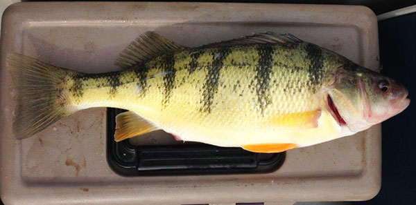 This Lake Erie jumbo perch was longer than the tackle box....perfect size for the cooler!