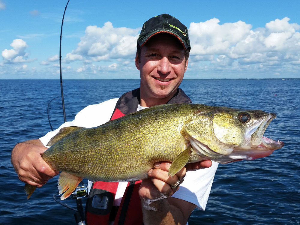Lake Erie has been on fire for walleye this year, and fish this size are common
