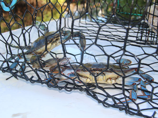 blue_crabs_trap