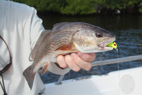 Mangroves that have oyster-beds leading into them are especially hot-spots for feeding redfish.