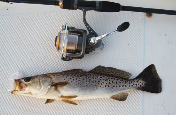 Spotted Sea Trout feed aggressively on shallow grass flats and are excellent sport caught on light freshwater gear.