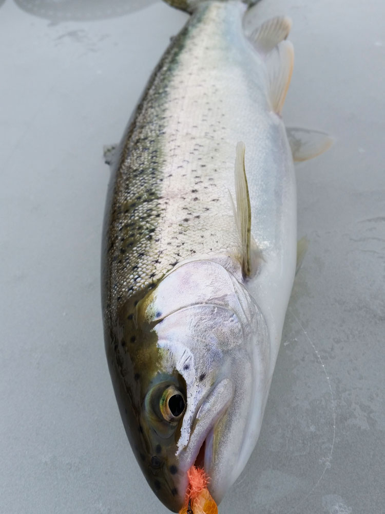 Rainbow trout are beautiful fish!