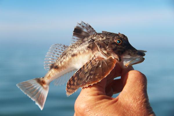 robinfish