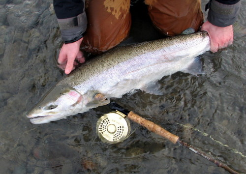 Chad Black with a beautiful winter run Steelhead landed on a Skeena River tributary. Photo by Cam Thiessen. Fish and Wildlife  Branch have been pushing anglers to keep their fish in the water (if they plan on releasing them). Washington State implemented a regulation a decade  or so ago making it unlawful to remove some fish species from the water due to the science that's recently become available which shows that some fish lose a percent of survival for every second out of water after landing.