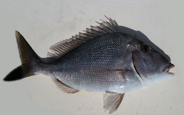 Porgy are a schooling bottom fish that fight great, look beautiful and have large bodies with a small head-area, which means lot's of tasty fish to eat!