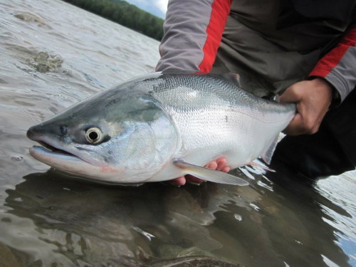 Fly fishing for Sockeye on the Skeena River can be fantastic! This action start around mid July.