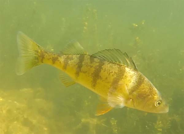 yellow_perch