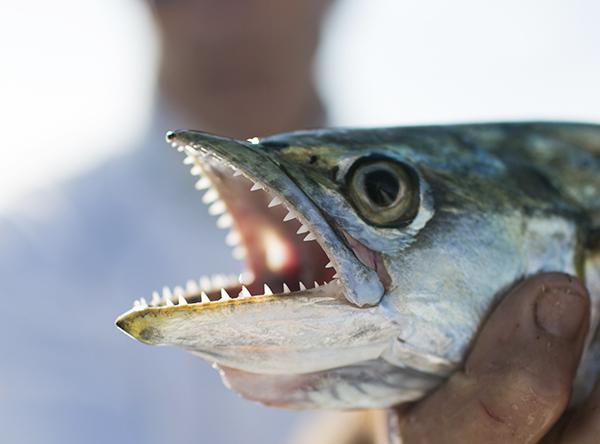 mackerel_teeth