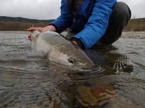 Guided spring Steelhead fishing trip starting April 1st to catch a fish like this. Scott Cameron, guest of Tracey Hittel,Kitimat Lodge,does his very best to pose his Steelhead while keeping it in the water which is best for a catch & release fishery.