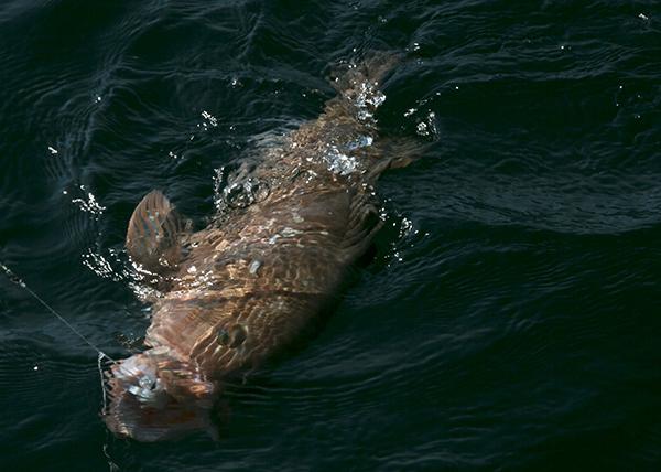grouper_water
