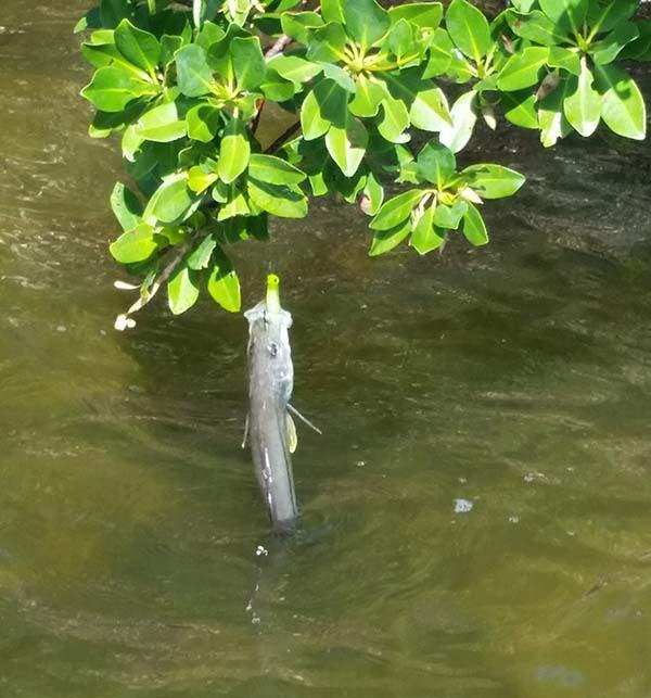 snook_mangroves