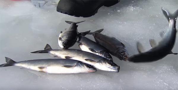 ice_herring02