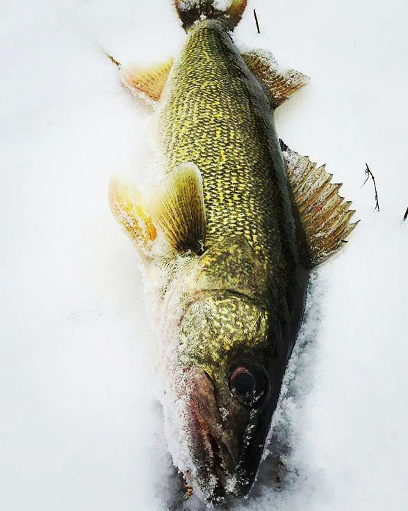 snow_walleye