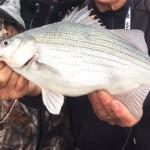 Italo video, Spring White Bass.