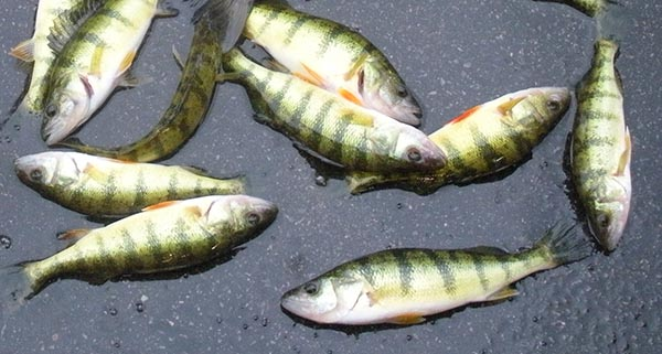 Kawartha Fall Perch & Bass  | Canadian Sportfishing