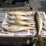 Lake Erie trolling Walleye action.