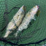 Florida Gulf Bluefish are running.